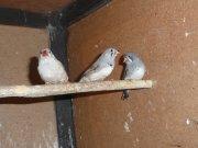 mlaďoši - asi 1 samička a 2 samci